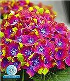 BALDUR-Garten Freiland-Hortensien 'SAXON Schloss Wackerbarth', 1 Pflanze Hydrangea macrophylla Garrtenhortensie winterhart