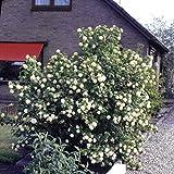 Dominik Blumen und Pflanzen, Gefüllter Schneeball, Viburnum opulus