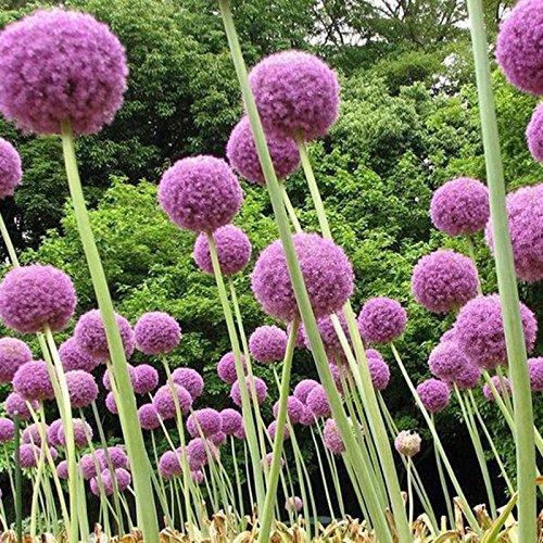 casa-giardino-di-piante-100-semi-phlox-stella-di-scintillio-semi-phlox-drummondii-cuspidata-fiore