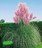 BALDUR-Garten Rosa Pampasgras
