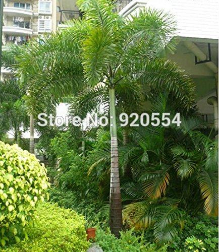 Heißes verkaufen2pcs / lot Fuchsschwanzpalme, Wodyetia bifurcata Samen Bonsai Pflanze DIY Hausgarten