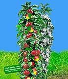 BALDUR-Garten Säulen-Apfel Red River, Apfelbaum 1 Pflanze Malus domestica