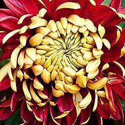 WuWxiuzhzhuo 100seltene Bicolor Rot Gelb Chrysantheme Plant Seeds Morifolium 1
