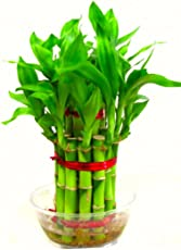 Rolling Nature Lucky Bamboo- 2 Layer