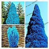 Pinkdose Chinesische Thuja Thuja blauen Zypresse Nadelbaum Garten Bonsai, Baum zu pflanzen für Haupthofdekorationen, 100 PC/bag