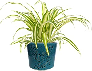 Abana Homes Air Purifying Spider Plant in Ceramic Pot