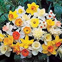 Daffodil Mixed Colours Bed Border Healthy Spring Flowers Bulbs Plants (1kg)