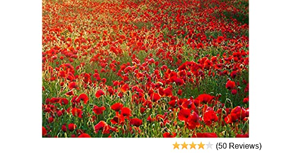 10000 Seeds Papaver Rhoeas Red Common Field Poppy Meadow Wild