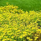 Ringelblume Golden Gem Samen - Schmalblättrige Studentenblume
