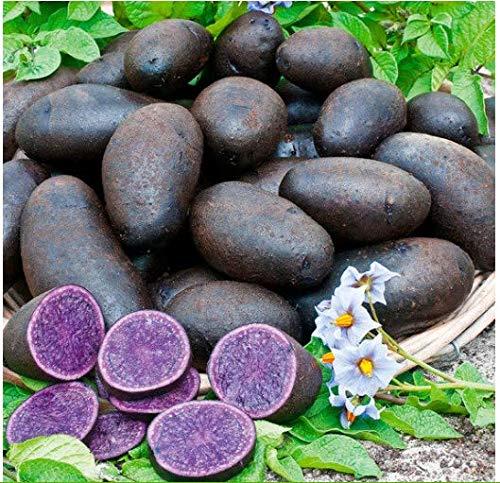 Acecoree Samen- 50 stücke Bio Kartoffel Gemüse Saatgut ertragreich Süßkartoffel Saatgut winterhart mehrjährig Gemüsesamen Kartoffel samen Pflanzen Gemüse Samen Hausgarten