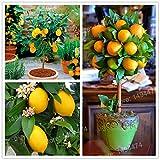 Pinkdose 100pcs Zitronenbaum Pflanze Mini Bonsai Obst Zitrone Exotic Citrus Bonsai Lemon Tree flores Obst und Gemüse plantas für Haus gard: Gelb