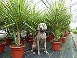 XXL Yucca Hochstamm Palme 180 cm Elephantipes Jewel pflegeleichte Zimmerpflanze
