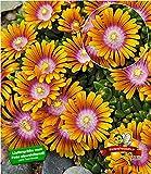 BALDUR-Garten Bodendecker Delosperma 'Fire Spinner' Eisblumen, 3 Pflanzen winterhart Steingarten