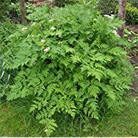 Virtue 1000 Chervil Seeds, French Parsley(medicinal Culinary Herb) Plant Spring/fall