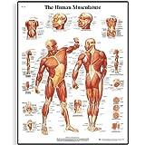 3B Scientific Human Anatomy - Human Musculature Chart, Paper Version