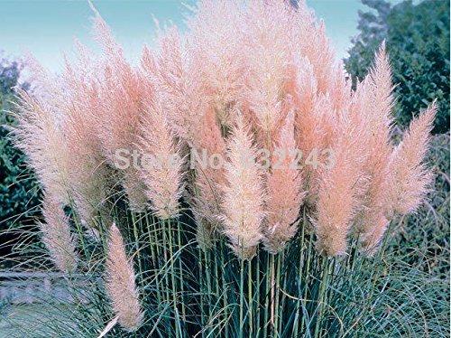 200-pc-erba-di-pampa-semi-patio-e-giardino-in-vaso-piante-ornamentali-nuovi-fiori-rosa-bianco-giallo