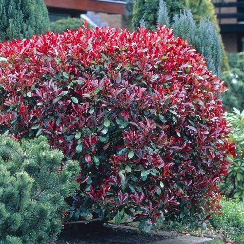 photinia-fraseri-red-robin-2-shrubs