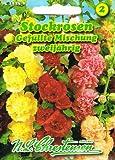 Alcea rosea , Stockrosen, Gefüllte Mischung, starkwachsende Prachtstaude Malve