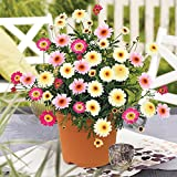 Argyranthemum Honeybees Collection 6 Jumbo Plants – Mixed Colours (6-)