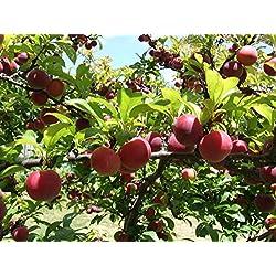Portal Cool Köstliche Pflaumenbaum / 5-Finest Samen/Crisp, Sweet & Spritzig/Hardy Variety Für Uk