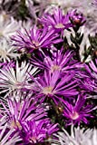 Pretty Purple Pig Face Flowers Carpobrotus Glaucescens Garden Journal