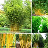 #9: Generic Bamboo Seeds. Phyllostachys Aureosulcata Home Garden Plant Seeds