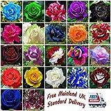 Portal Cool Semi 50X Rose Flower Garden Flora, Nero, Blu, Arcobaleno, Rosa Buy 2 Get 1 gratis: blu