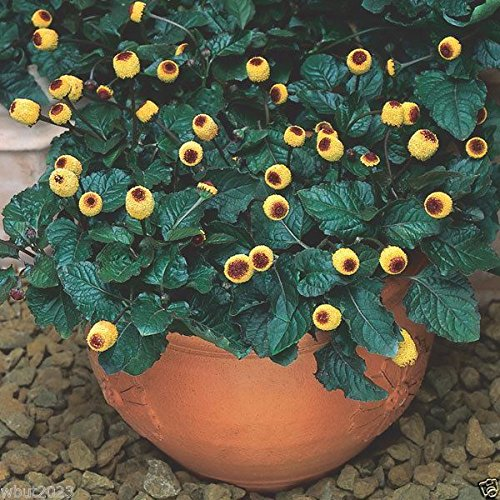 Pinkdose 500 Seeds: Acmella oleracea Seeds - Toothache Plant - Tropical Perennial- Native to Brazil (500 Seeds)