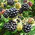 Black Satin, süße Brombeere stachellos ca. 30-40 cm im 2 Liter Topf von Grüner Garten Shop bei Du und dein Garten