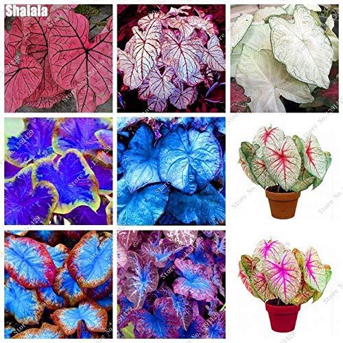 HATCHMATIC 1: 50 Graines Dahlia pon Fleurs de Jardin Belle Fleur Magnifique Sementes
