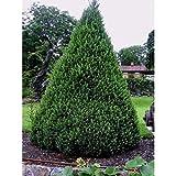 Zuckerhutfichte Fichte Zuckerhut-Fichte Picea glauca GARTEN 50-80cm
