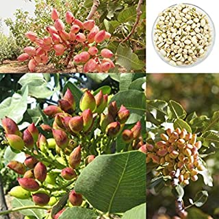 15pcs Pistachio Nut Seeds Bonsai Rare Nut Tree Seeds Home Garden Planting Outdoor