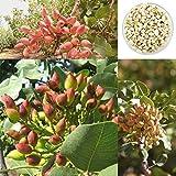 Ncient 5 Semillas Pistachos Semillas Nueces Raras Plantas Bonsai para Maceta Jardín Balcon Interior y Exteriores