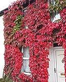 Kletterpflanze Wilder Wein Jungfernrebe - Selbstklimmer - Rote Herbstfärbung- Parthenocissus