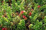 Canneberge à Gros Fruits, Airelles, Cranberry Howes Godet