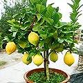 SOTEER Mini Zitronenbaum Samen - 10/20/50 Stück/Pack Bonsai Obstbaum Parfüm Zitrone Samen, Bonsai geeignet von SOTEER bei Du und dein Garten