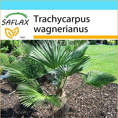 SAFLAX - Kit cadeau - Palmier miniature de Chusan - 4 graines - Trachycarpus wagnerianus