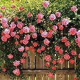 PLAT FIRM Germination Les graines PLATFIRM-Rose Escalade Rose Arbor Trellis Garden 20, 200 ou 2000 graines