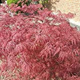 Müllers Grüner Garten Shop Roter Schlitzahorn Acer palmatum Dissectum Garnet Ahorn 80-100 cm 21 cm Topf