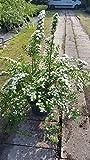 Japanische Strauchspiere Spiraea nipponica Snowmound 40-60 cm hoch im 5 Liter Pflanzcontainer