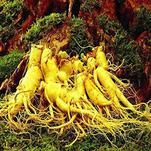Go Garden 12 graines Stratifies rustiques chinois ginseng Panax ginseng Corée graines, semences à base de plantes, Formez vos propres racines de ginseng