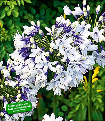 "BALDUR-Garten Agapanthus""Twister"", 1 Knolle Schmucklilie winterhart"