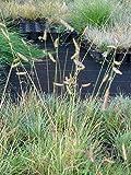 Bouteloua gracilis - Moskitogras, 6 Pflanzen