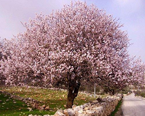 sehr-selten-echter-mandelbaum-prunus-dulcis-1-baum-grosse-100-110-cm-frosthart-bis-maximal-15-grad