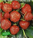 BALDUR-Garten Erdbeere Hummi´s 'Sengana Selek...Vergleich