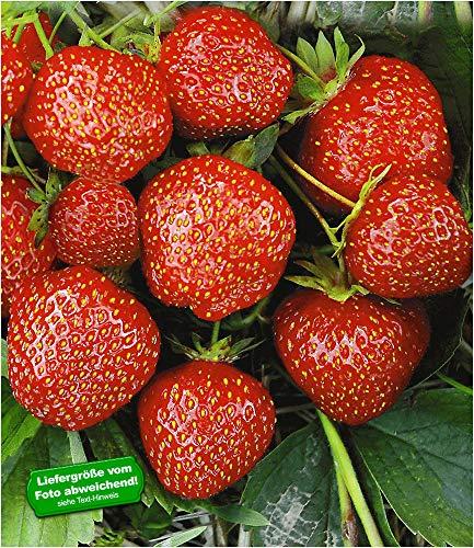 erdbeerpflanzen senga sengana BALDUR-Garten Erdbeere Hummi´s 'Sengana Selektion', 6 Pflanzen Fragaria