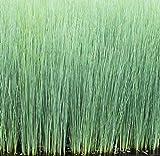 Wasserpflanzen Wolff - Juncus inflexus - winterhart - Blaubinse -