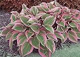 Hosta Samen Bonsai Topfpflanze seltenes Kraut Blühende Pflanzen Bodendecker Seed-Hausgarten Zier Easy Grow 100 PC/Beutel 22