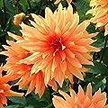 Dahlie Orange von Meingartenshop - Du und dein Garten