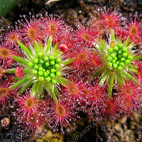 50 Pièces nouvelles semences 2017 25 sortes Flytrap semences Bonsai pot Dionaea Graine de plantes Terrasse Jardin Carnivore Graine de plantes Bourgogne
